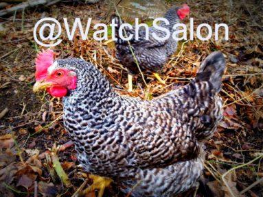 Zwei Hühner mit dem Twitteraccount-Namen @WatchSalon